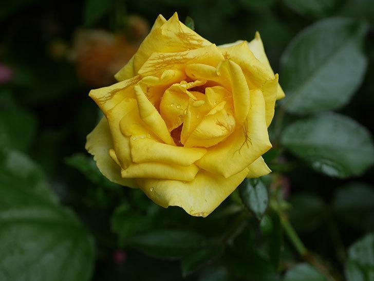 レヨン・ドゥ・ソレイユ(Rayon de Soleil)の花が増えてきた。木立バラ。2020年-008.jpg