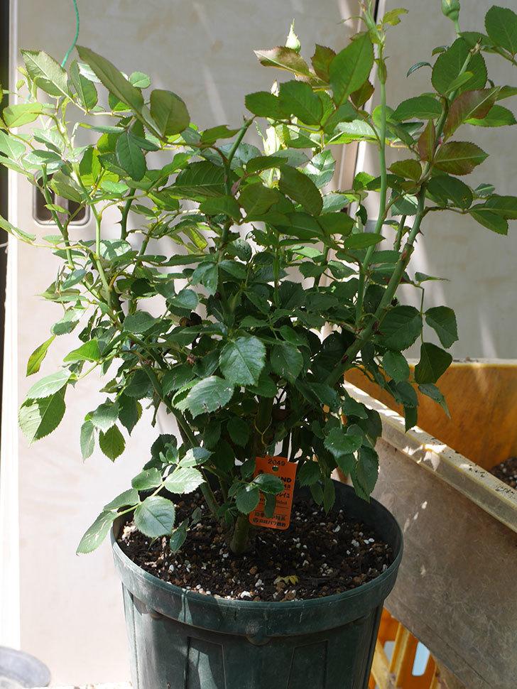 レヨン・ドゥ・ソレイユ(Rayon de Soleil)の鉢植苗を8号ロングスリット鉢に植え替。2020年-009.jpg