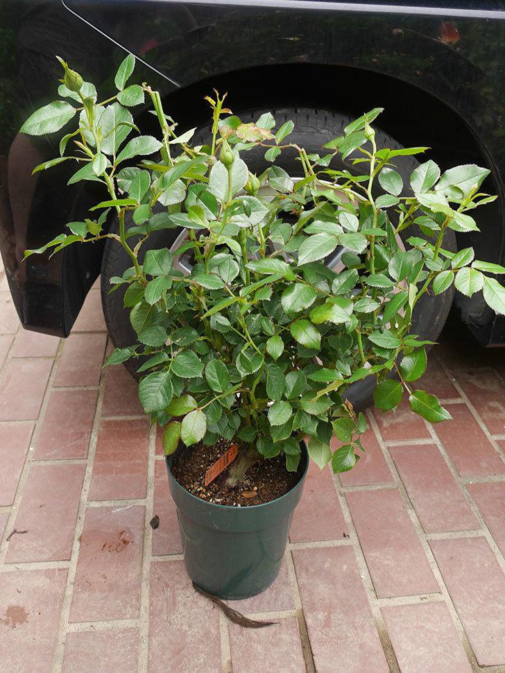 レヨン・ドゥ・ソレイユ(Rayon de Soleil)の鉢植苗を京成バラ園芸ネット通販で買った。2020年-003.jpg