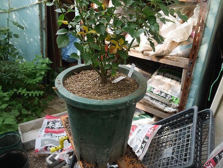 レヨン・ドゥ・ソレイユ(Rayon de Soleil)を懸崖鉢10号に植え換えた。木立バラ。2020年-006.jpg