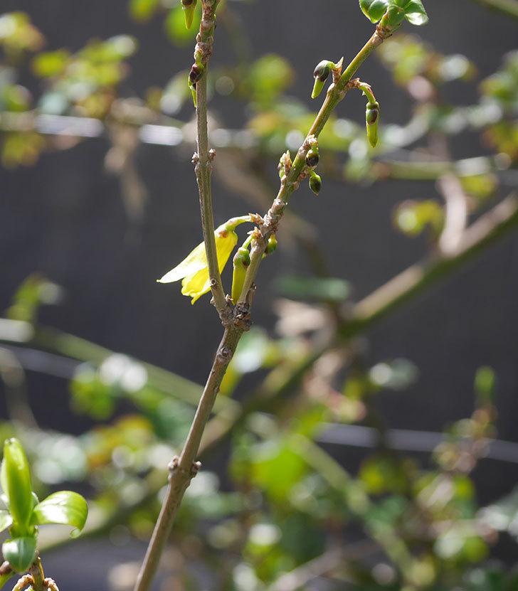 レンギョウの花が咲きだした。2020年-3.jpg