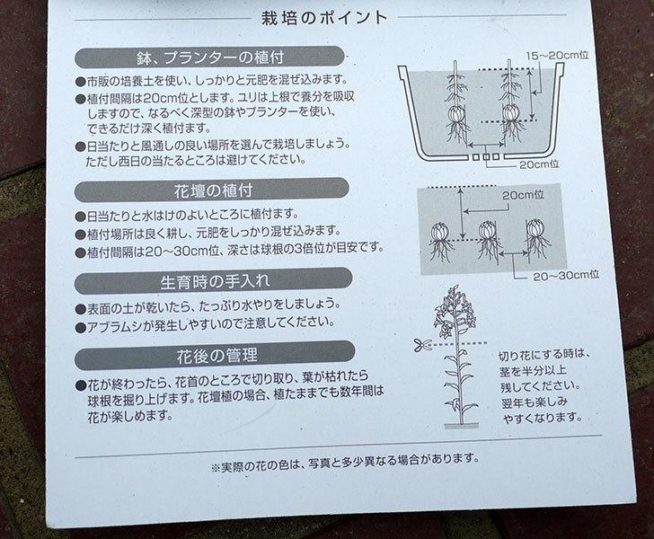 ロイヤルサンセット(すかしユリ)の球根がケイヨーデイツーで半額で買って来た。2016年-3.jpg