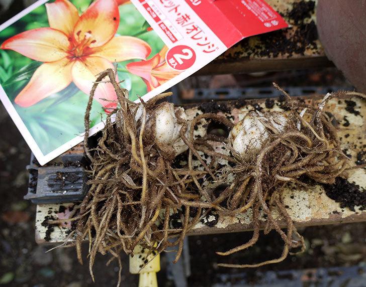 ロイヤルサンセット(すかしユリ)の球根を鉢に植えた。2016年-1.jpg