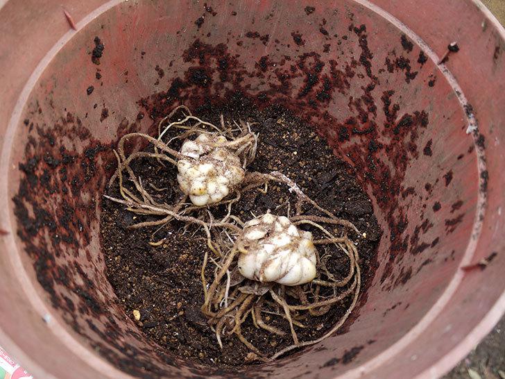 ロイヤルサンセット(すかしユリ)の球根を鉢に植えた。2016年-3.jpg