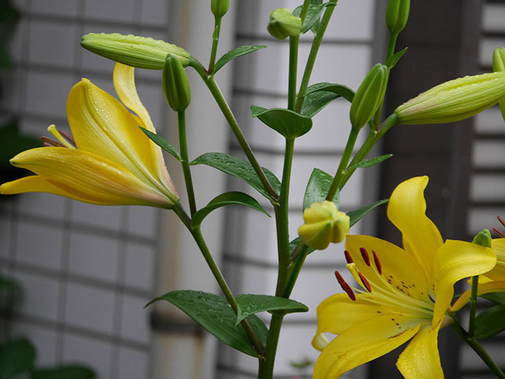 ロイヤルサンセット(すかしユリ)の花がたくさん咲いた。2019年-15.jpg