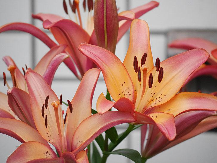 ロイヤルサンセット(すかしユリ)の花がたくさん咲いた。2020年-005.jpg
