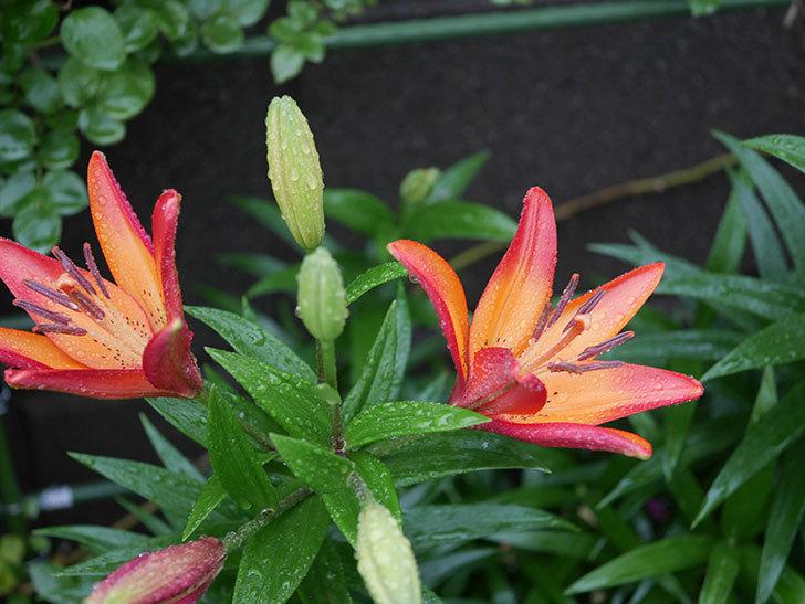 ロイヤルサンセット(すかしユリ)の花が咲いた。2020年-002.jpg