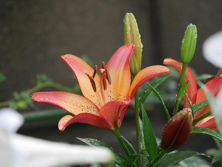 ロイヤルサンセット(すかしユリ)の花が咲いた。2020年-027.jpg