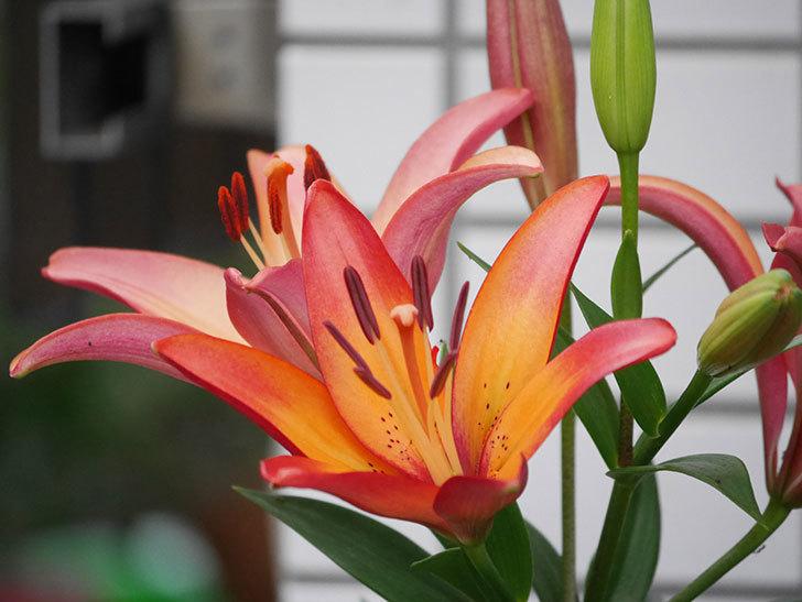 ロイヤルサンセット(すかしユリ)の花が増えてきた。2020年-006.jpg