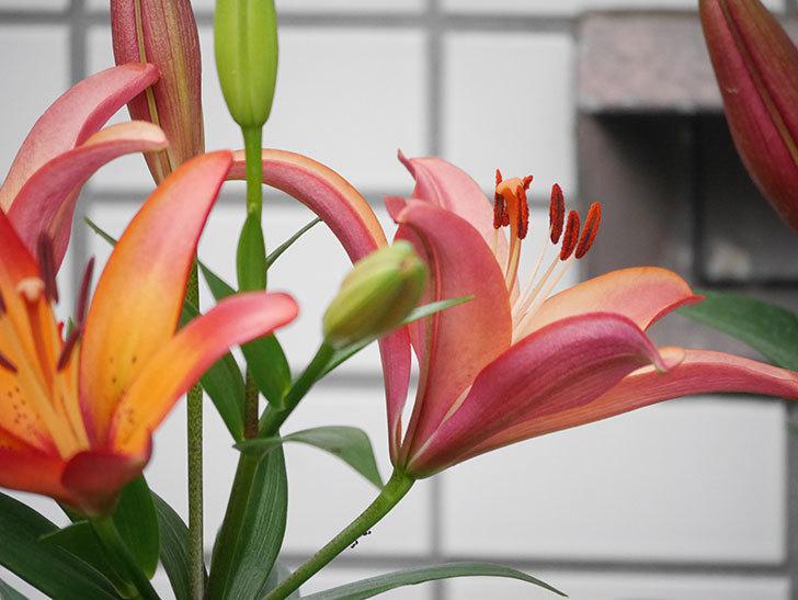 ロイヤルサンセット(すかしユリ)の花が増えてきた。2020年-007.jpg