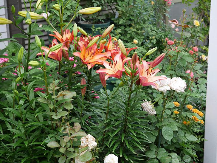 ロイヤルサンセット(すかしユリ)の花が増えて来た。2019年-5.jpg