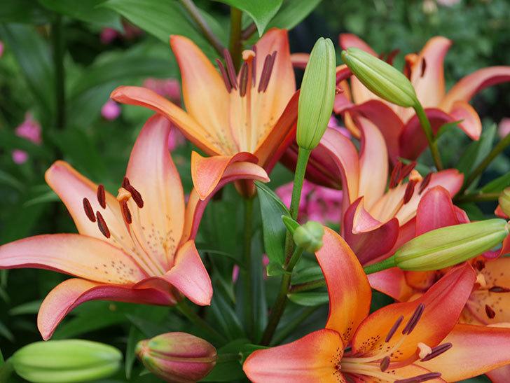 ロイヤルサンセット(すかしユリ)の花が増えて来た。2019年-7.jpg