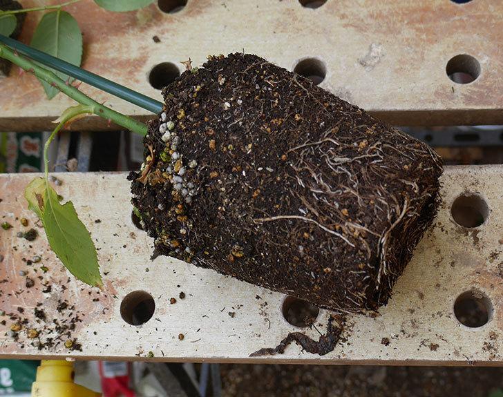 ロイヤルサンセット(ツルバラ)の新苗を6号ロングスリット鉢に植え替えた。2019年-1.jpg