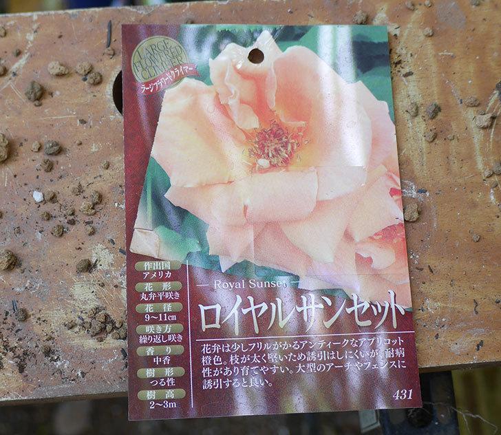 ロイヤルサンセット(ツルバラ)の新苗を6号ロングスリット鉢に植え替えた。2019年-2.jpg