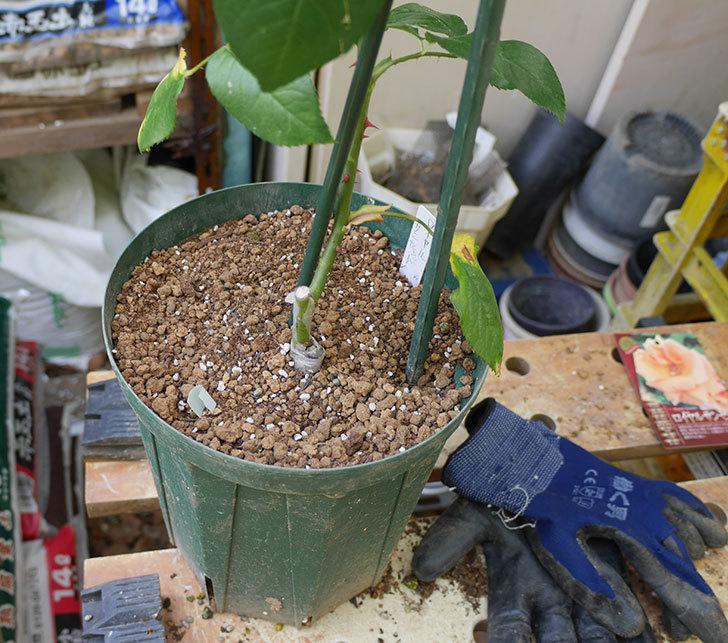 ロイヤルサンセット(ツルバラ)の新苗を6号ロングスリット鉢に植え替えた。2019年-4.jpg