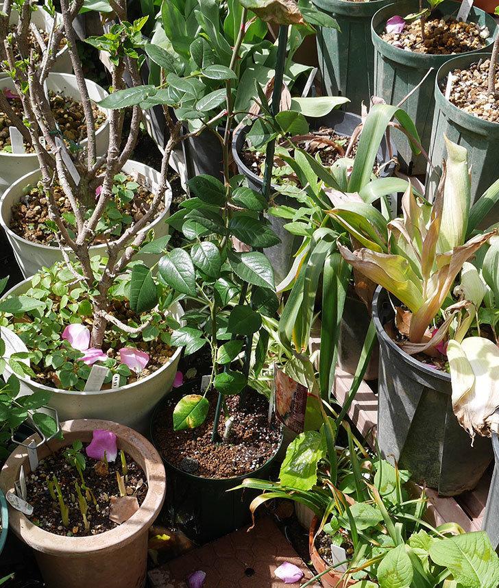 ロイヤルサンセット(ツルバラ)の新苗を6号ロングスリット鉢に植え替えた。2019年-5.jpg