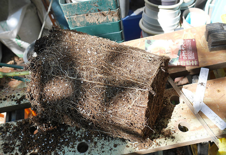 ロイヤルサンセット(ツルバラ)の新苗を8号ロングスリット鉢に鉢増しした。2019年-1.jpg