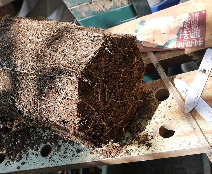ロイヤルサンセット(ツルバラ)の新苗を8号ロングスリット鉢に鉢増しした。2019年-2.jpg