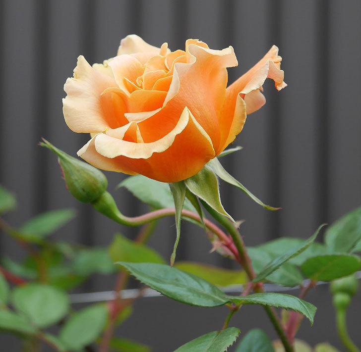 ロイヤルサンセット(ツルバラ)の花がぽつぽつ咲いた。2020年-1.jpg