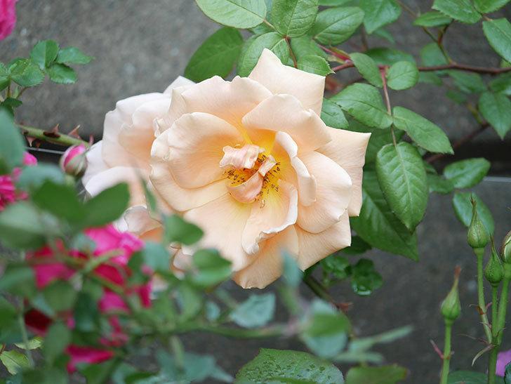 ロイヤルサンセット(ツルバラ)の花がぽつぽつ咲いた。2020年-10.jpg