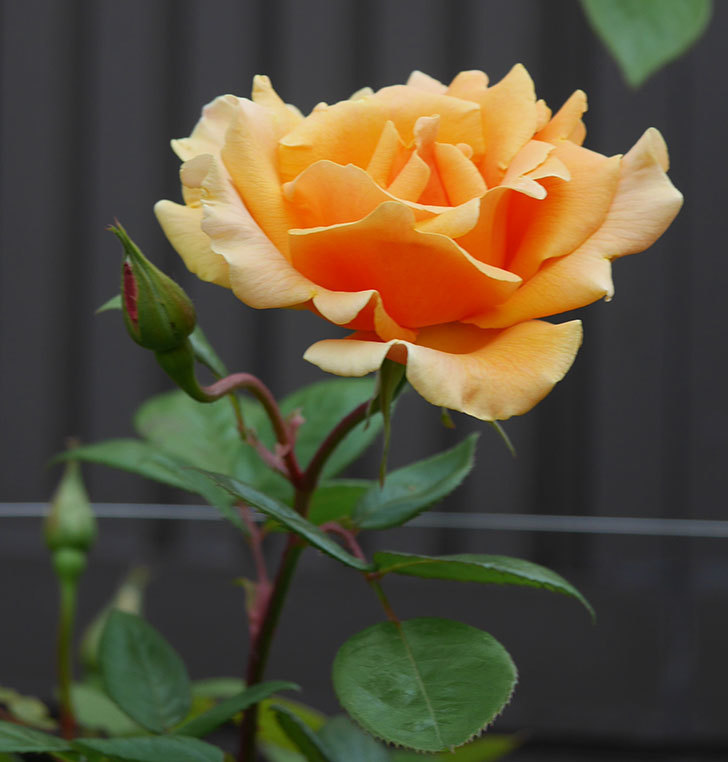 ロイヤルサンセット(ツルバラ)の花がぽつぽつ咲いた。2020年-11.jpg