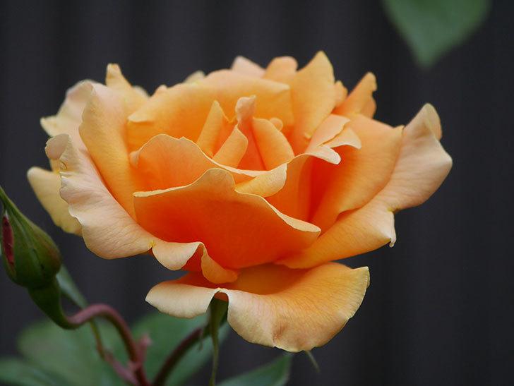 ロイヤルサンセット(ツルバラ)の花がぽつぽつ咲いた。2020年-12.jpg
