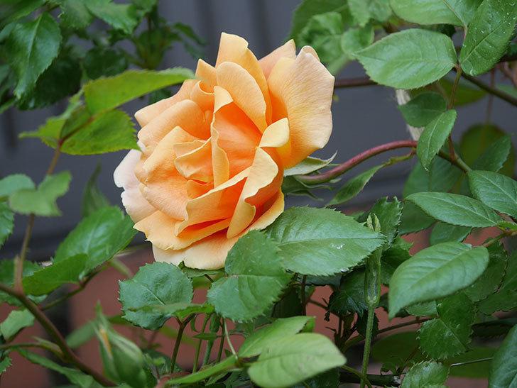 ロイヤルサンセット(ツルバラ)の花がぽつぽつ咲いた。2020年-13.jpg