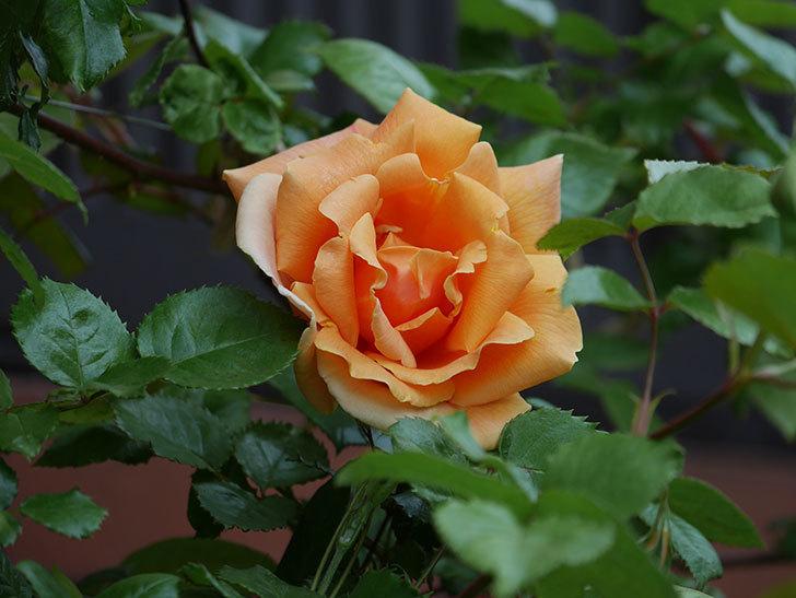 ロイヤルサンセット(ツルバラ)の花がぽつぽつ咲いた。2020年-14.jpg