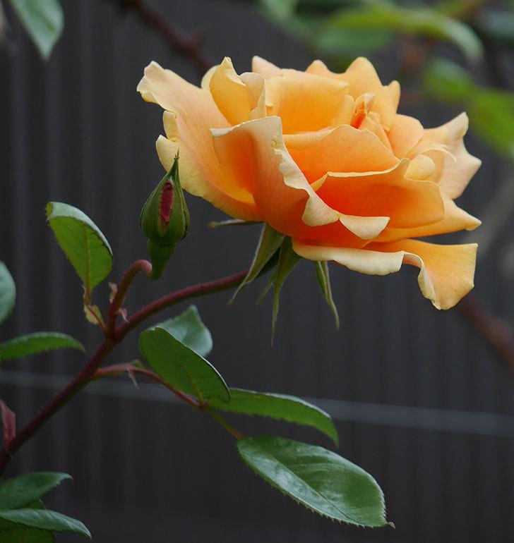 ロイヤルサンセット(ツルバラ)の花がぽつぽつ咲いた。2020年-15.jpg