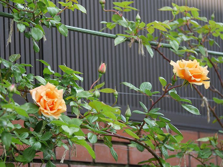ロイヤルサンセット(ツルバラ)の花がぽつぽつ咲いた。2020年-16.jpg