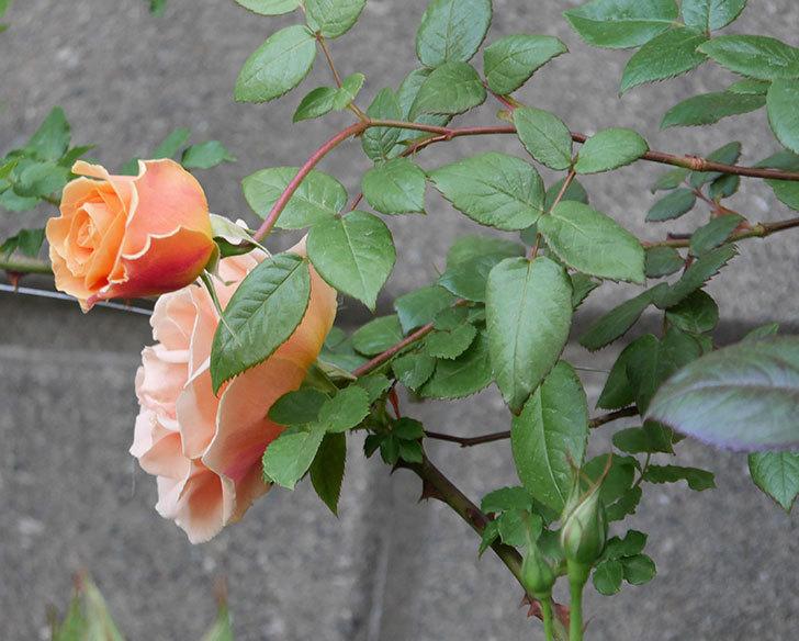 ロイヤルサンセット(ツルバラ)の花がぽつぽつ咲いた。2020年-17.jpg
