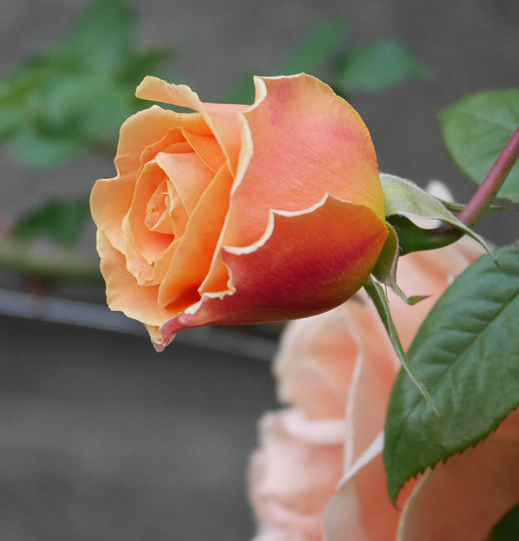 ロイヤルサンセット(ツルバラ)の花がぽつぽつ咲いた。2020年-18.jpg