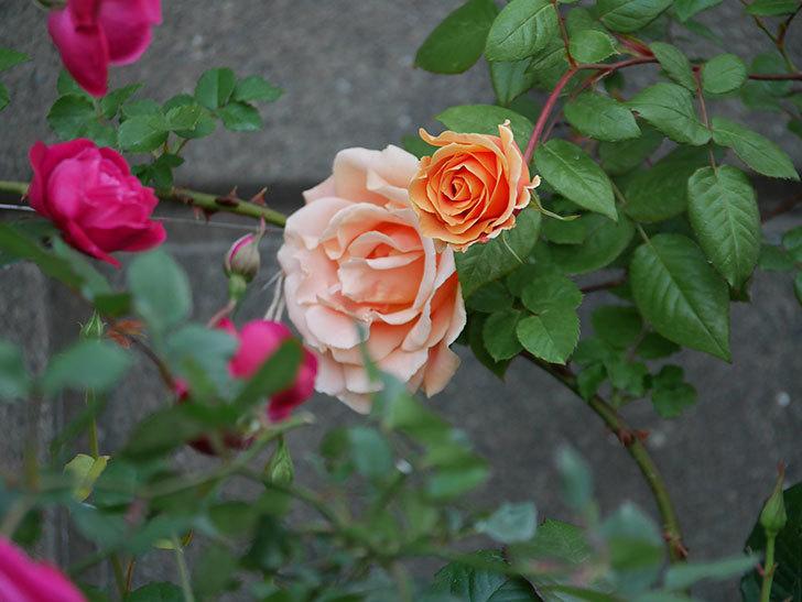 ロイヤルサンセット(ツルバラ)の花がぽつぽつ咲いた。2020年-19.jpg