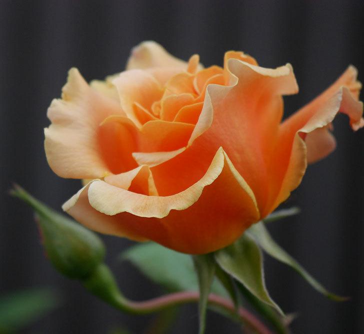 ロイヤルサンセット(ツルバラ)の花がぽつぽつ咲いた。2020年-2.jpg