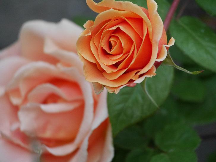 ロイヤルサンセット(ツルバラ)の花がぽつぽつ咲いた。2020年-20.jpg