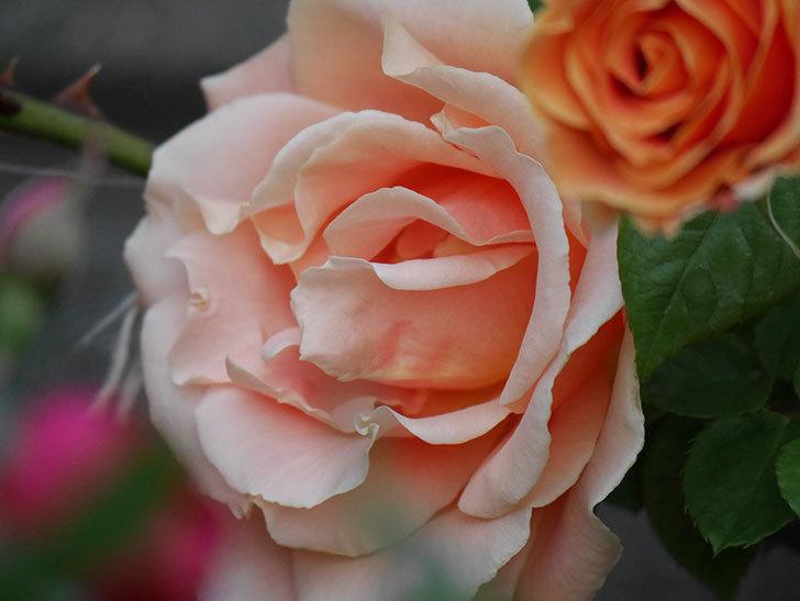 ロイヤルサンセット(ツルバラ)の花がぽつぽつ咲いた。2020年-21.jpg
