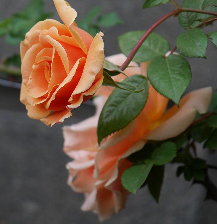 ロイヤルサンセット(ツルバラ)の花がぽつぽつ咲いた。2020年-22.jpg