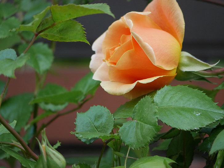 ロイヤルサンセット(ツルバラ)の花がぽつぽつ咲いた。2020年-3.jpg