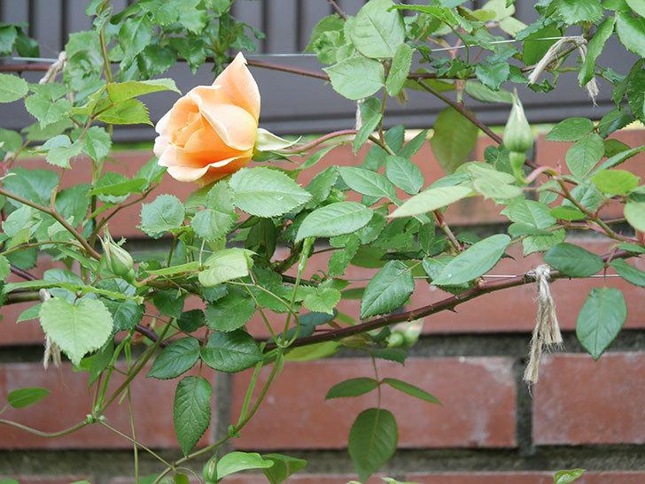 ロイヤルサンセット(ツルバラ)の花がぽつぽつ咲いた。2020年-4.jpg