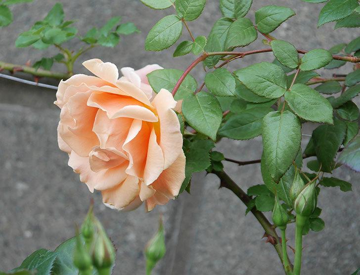 ロイヤルサンセット(ツルバラ)の花がぽつぽつ咲いた。2020年-5.jpg