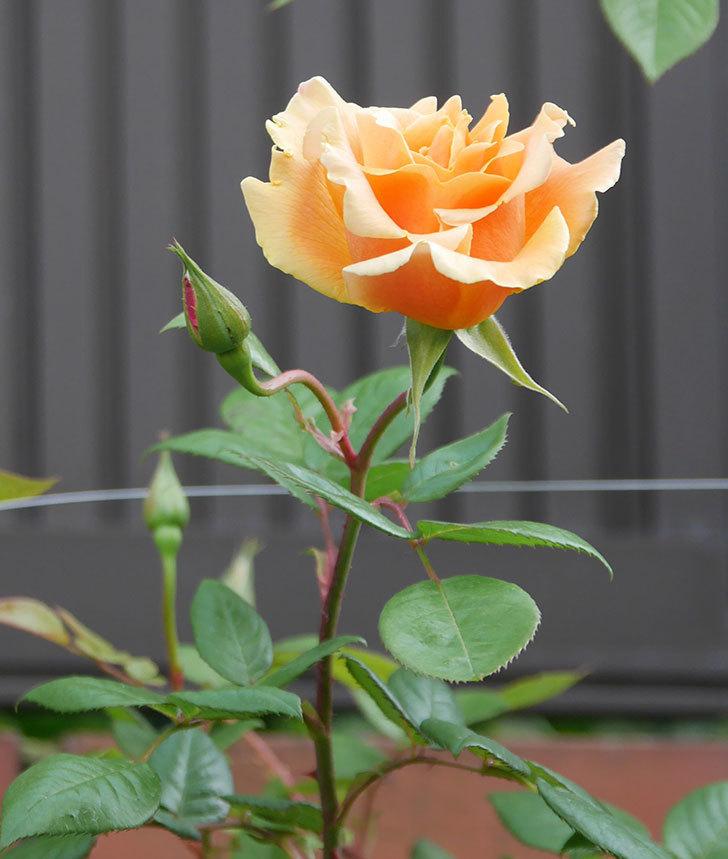 ロイヤルサンセット(ツルバラ)の花がぽつぽつ咲いた。2020年-6.jpg