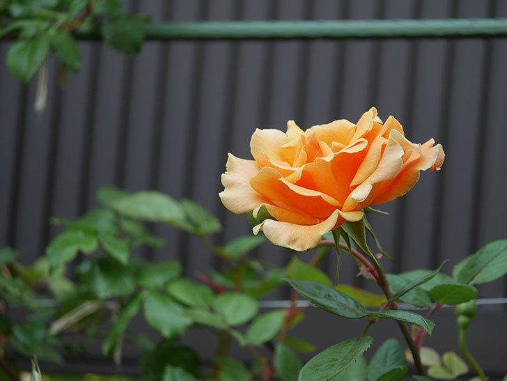 ロイヤルサンセット(ツルバラ)の花がぽつぽつ咲いた。2020年-7.jpg