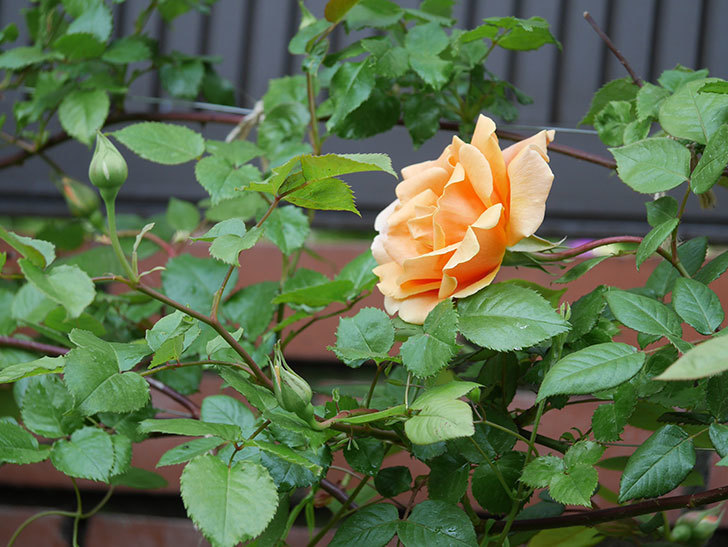 ロイヤルサンセット(ツルバラ)の花がぽつぽつ咲いた。2020年-8.jpg