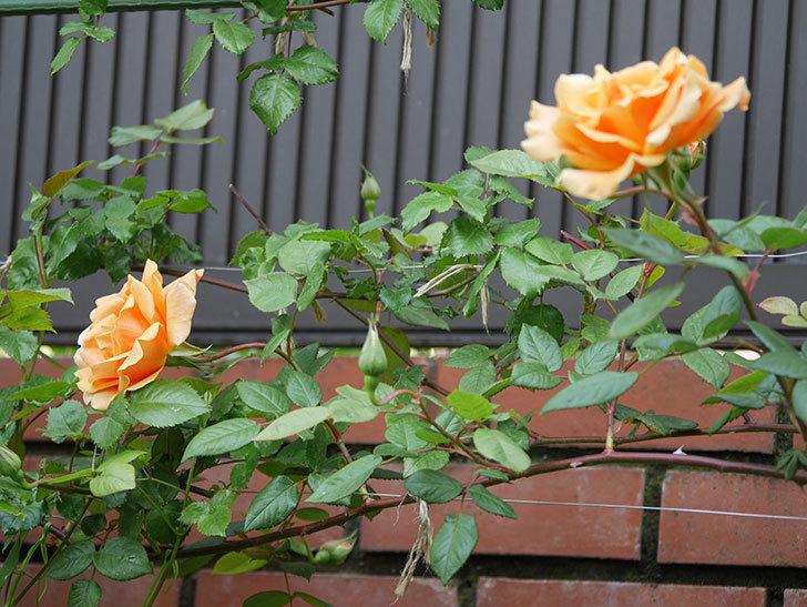 ロイヤルサンセット(ツルバラ)の花がぽつぽつ咲いた。2020年-9.jpg