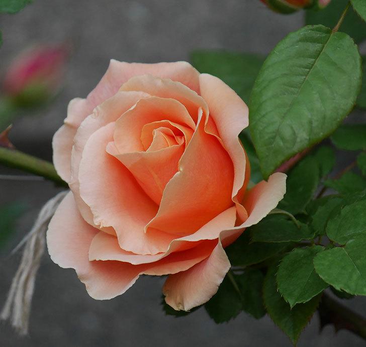 ロイヤルサンセット(ツルバラ)の花が咲いた。2020年-2.jpg