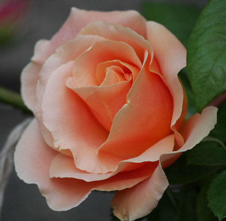 ロイヤルサンセット(ツルバラ)の花が咲いた。2020年-3.jpg