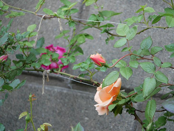ロイヤルサンセット(ツルバラ)の花が咲いた。2020年-4.jpg