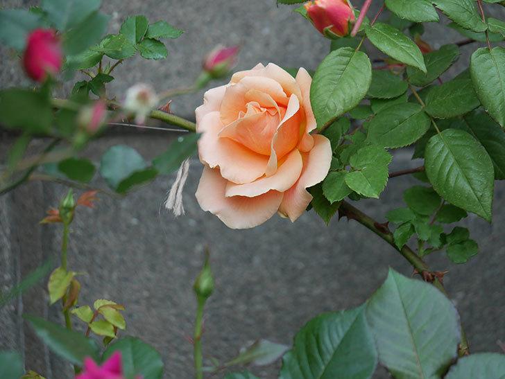 ロイヤルサンセット(ツルバラ)の花が咲いた。2020年-5.jpg
