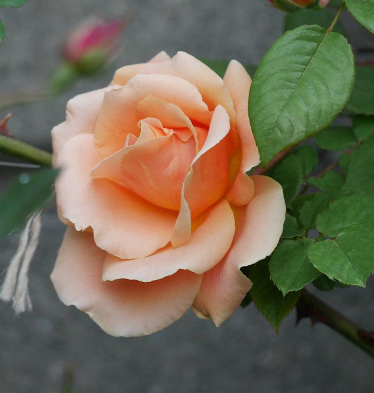 ロイヤルサンセット(ツルバラ)の花が咲いた。2020年-6.jpg