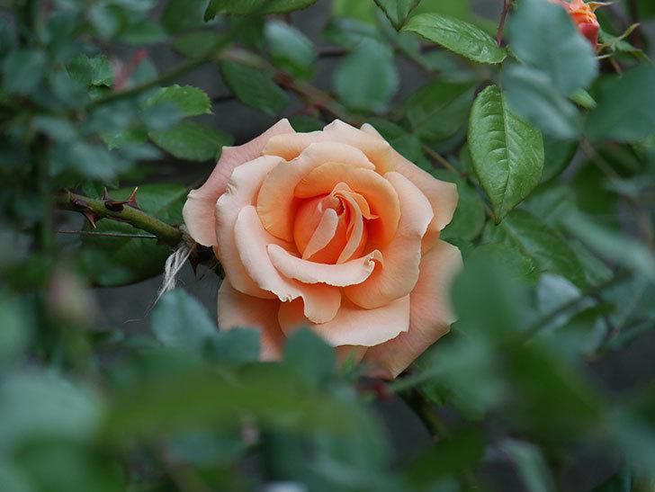 ロイヤルサンセット(ツルバラ)の花が咲いた。2020年-7.jpg